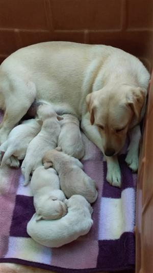 Cream/white labrador puppy FOR SALE
