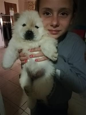 White Chow Puppies for sale