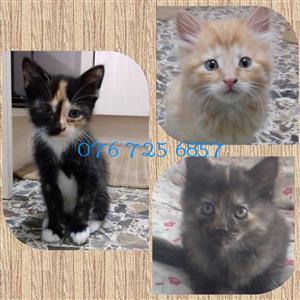 Beautiful 6 week old kittens for sale