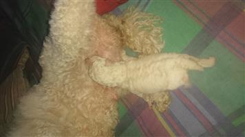 French toy poodle puppie. registered breeder.  Vaccinated dewormed and vet checked.