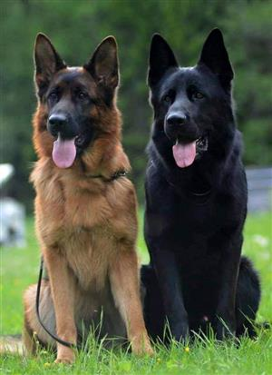 German Shepherd Quality Puppies Available