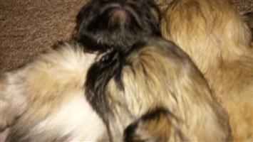 Purebred pekingese male puppie