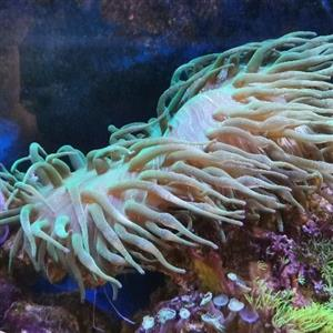 Anemone Bubble tip