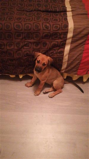 Rhodesian Ridgeback Puppy For Sale
