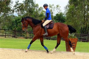 FOR SALE - Tall Thoroughbred Gelding