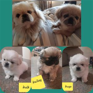 Pure Pekingese puppies