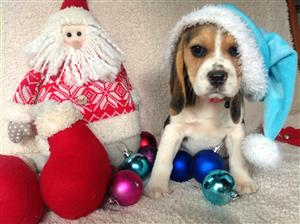 Beagle Female Puppies KUSA Registered