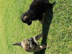 German Shepherd x Belgium Shepherd