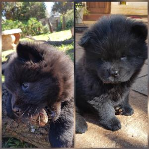 Black chow puppies