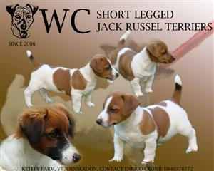 Shor Legged Jack Russel Terriers for Sale