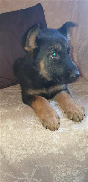 German Shepherd male puppy- Purebred