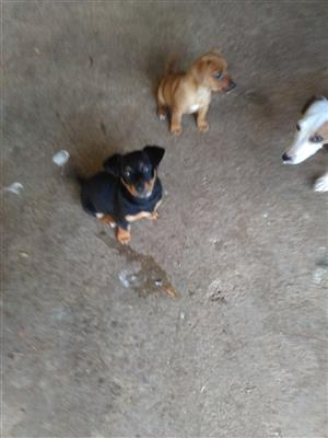 Jack Russell x Yorkie puppy's for sale