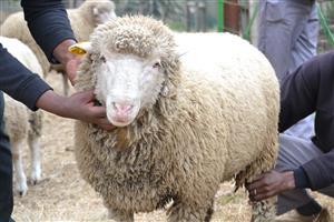 Il de France Rams for Sale