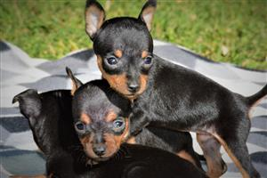 Miniature Doberman Pinscher (Bokkie) Minpin Puppies