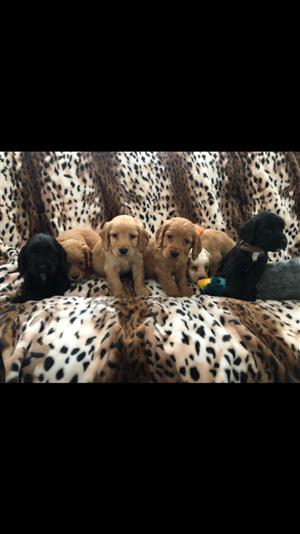 Beautiful Cocker Spaniel puppies for sale