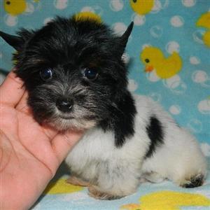 Miniature Biewer male puppy