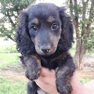 Miniature Longhaired Dachshunds