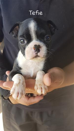 Boston terriers te koop