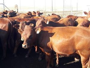 Bonsmara Heifers and Bulls for sale