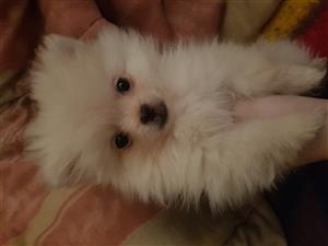 Pure bred white male toy pom puppy for sale