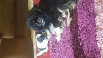 Piganese puppys