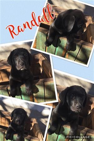 Labrador puppy black KUSA registered