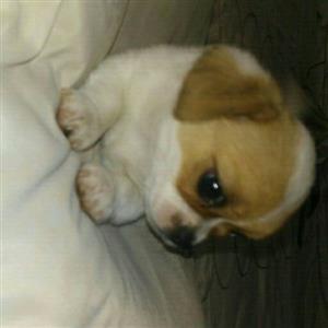 Pug X Jack Russell