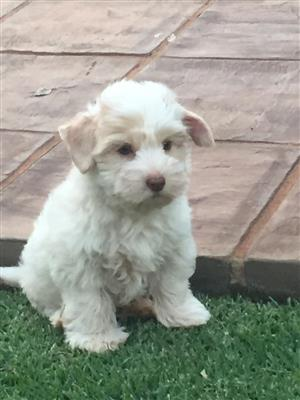 Beautiful gold dust female puppy
