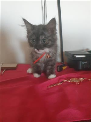 Main coon kitties.