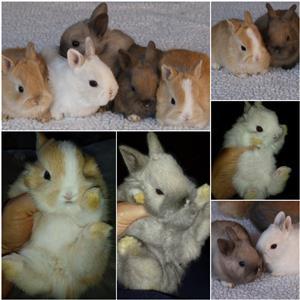 Netherland dwarf bunnies for sale - Very cute!