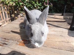8 week old male baby rabbits for sale