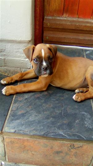 Pure breed boxer puppy