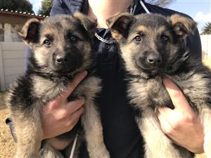 German Shepherd Purebred Puppies