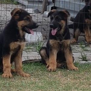 German Sheperd Registered pups