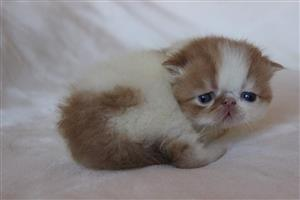 Cutes persian  available.
