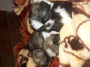 Beautiful pekingese male pups