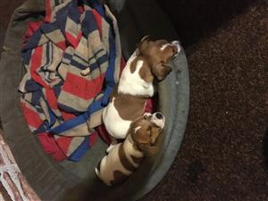 Jack Russell puppy's for sale