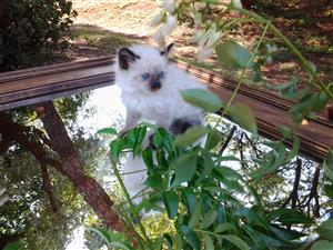 Ragdoll Siamese kittens.