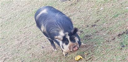 Colebrook Pigs Benoni AH