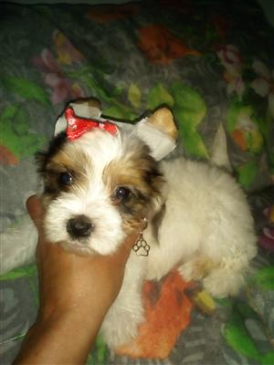 Beautiful Exotic Yorkie puppy for sale.