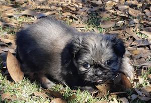 Last Pekenise puppy pure bred