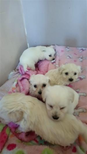 Miniature Maltese Puppies