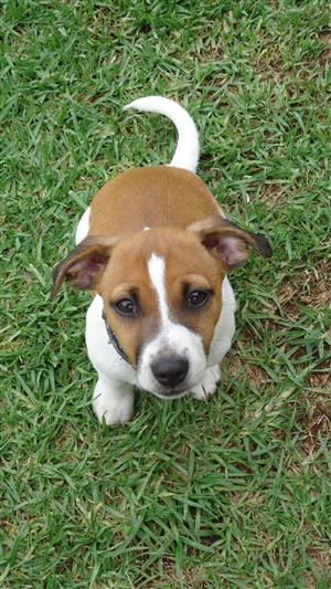 12wk Adorable Jack Russel cross Foxie pups looking for animal lovers to adopt them