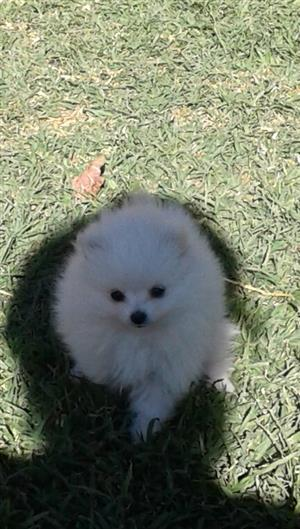 Toypom Puppies