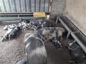Colebrook / Kolbroek Piglets