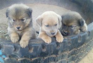 Chow cross Labrador puppies
