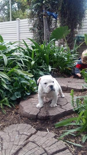 English bulldog puppy available