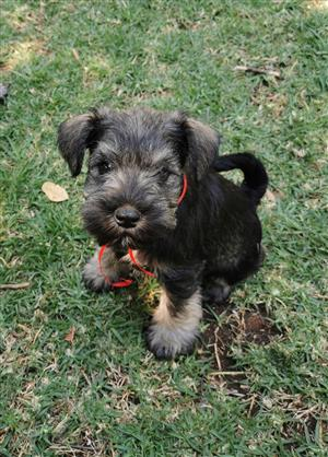 Miniature Schnauzer puppies KUSA registered