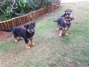 German Shepherd puppies (8weeks old)