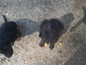 German Shepherd cross Labrador puppies for sale